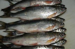 ryby šamajka