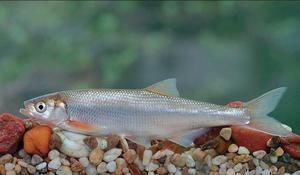 Tam, kde žijú ryby Shamais