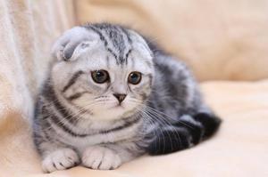 Povaha Fold mačiek