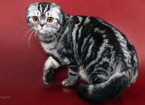 Kŕmenie škótskych Fold mačiek
