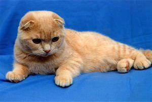 Scottish Fold kitten: obsah a starostlivosť