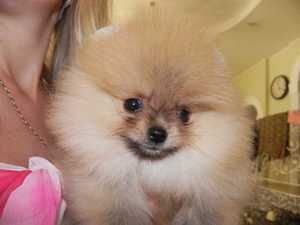 Ako si vybrať Pomeranian šteňa