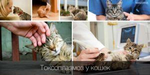 Príznaky a liečba toxoplazmózy u mačiek