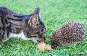 Koľko rokov môžu ježkovia žiť v prírode a doma