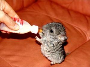 Malé činčily nápoje z fľaše