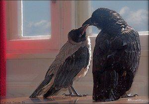 Rozdiely vrany od havranov