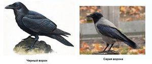 Vrana a havran sú charakteristické rysy