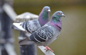 Koľko rokov žijú holuby v rôznych podmienkach