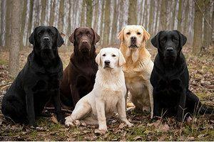 Koľko rokov žijú labradori. Domáca starostlivosť
