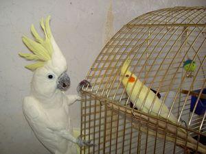 Koľko rokov žije papagáj z Corelly