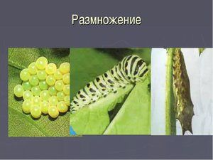 Reprodukcia motýľa