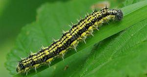 Úľ. Caterpillar