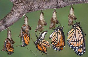 Vývoj motýľa z chrysalis