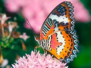 Koľko motýľov žije