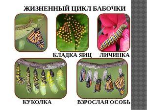 Ako dlho žijú motýle