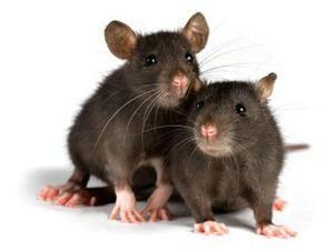 Koľko živých domácich potkanov a za akých podmienok?