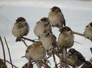 Koľko vrabcov žije