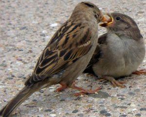 Čo sa živí vrabcom
