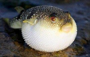 Smrteľná nebezpečná jedovatá pochúťka - ryba fugu