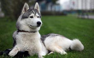 Vlastnosti plemena psa Laika