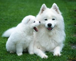 Polárni psi: Popis plemena