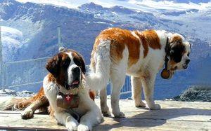 Popis histórie plemena psov sv. Bernarda