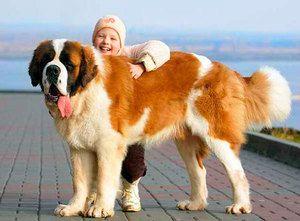 Charakteristika psov sv. Bernarda