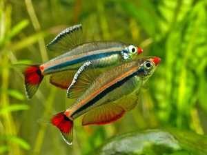 Kardinálov rýb