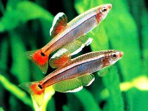 Obsah akvarijnej ryby kardinál