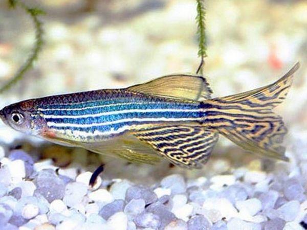 Zebrafish ryby