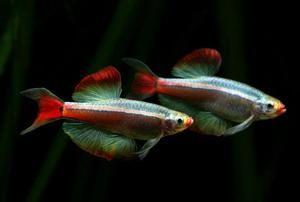 Ryby kardinál