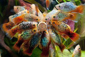Obsah akvarijnej ryby pecilia a jej chov