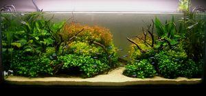 Obsah anubias nana v akváriu