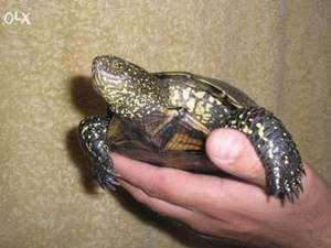 Obsah európskej močiarnej korytnačky doma