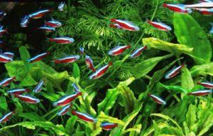 Neon - krásne a rozmanité ryby na chov v akváriu