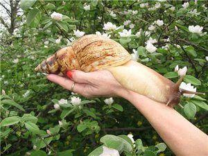 Obsah slimáka: sieťované auktíny, imakuláty a iné druhy