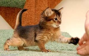 Somálska mačka: charakter a popis Somálska