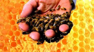 Čo tvorí včelí jed