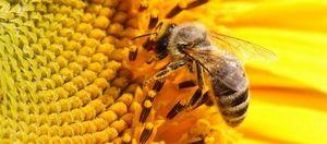 Ako byť s bodnutím včely