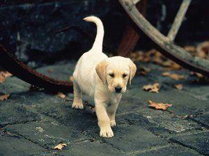 Labrador šteňa na ulici