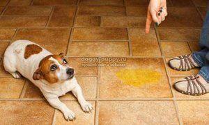 Pes a lúpež na podlahe v dome