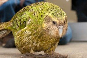 Sakpový papagáj kakapo a popis beztvarých vtákov