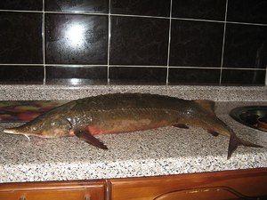 Druhy a názvy červených rýb
