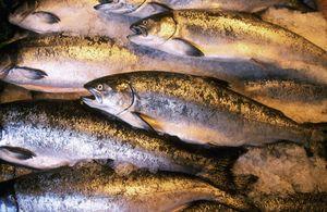 Názvy rýb z lososa