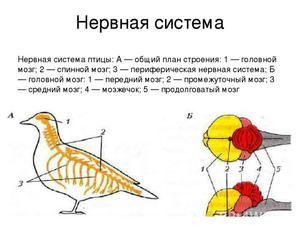 Štruktúra nervových a vylučovacích systémov vtákov. Zmyselné orgány
