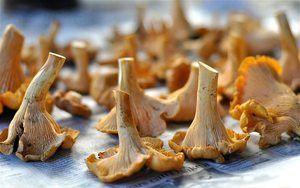 Sušené lišty: odrody chutných a voňavých jedál