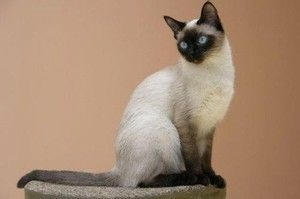 Thajská mačka. Opis a charakter plemena