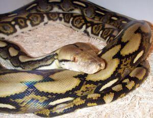 Dark Tiger Python: popis a rady týkajúce sa obsahu