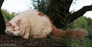Turecký van: pôvod mačacej mačky, štandard plemena a starostlivosť