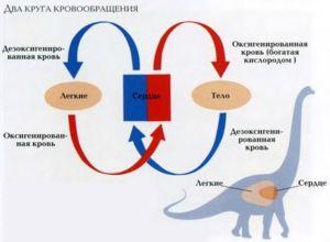 Krvný obeh prispieva k zásobovaniu orgánov a tkanív kyslíkom